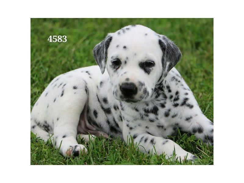 Dalmatian-Male-Black / White-2191432-Petland Summerville