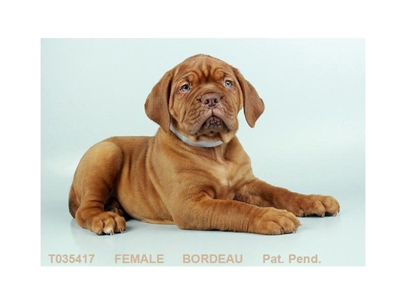 Dogue De Bordeaux-Female-RD-2319036-Petland Summerville