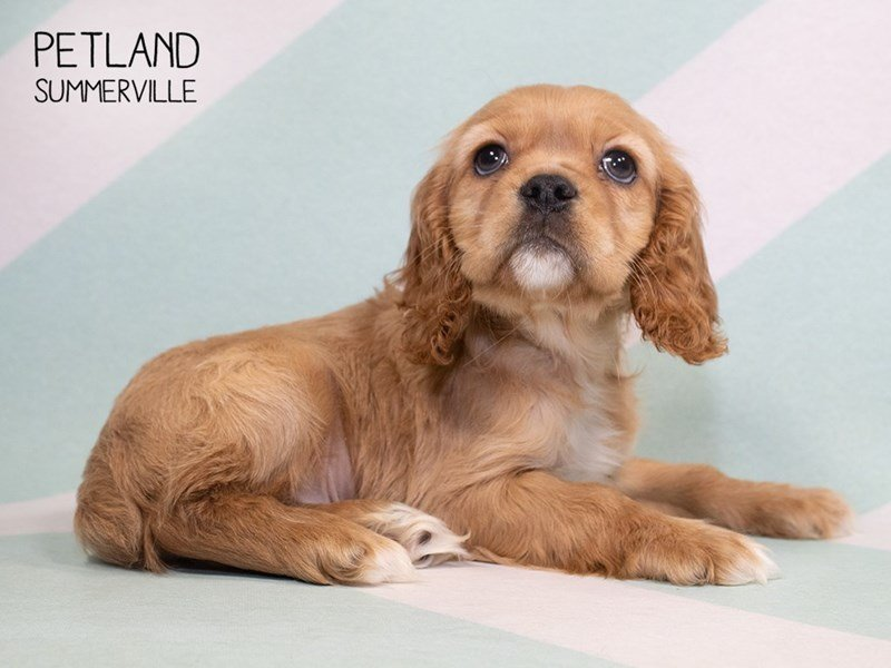 Cockalier-Male-BHEIM-2319037-Petland Summerville