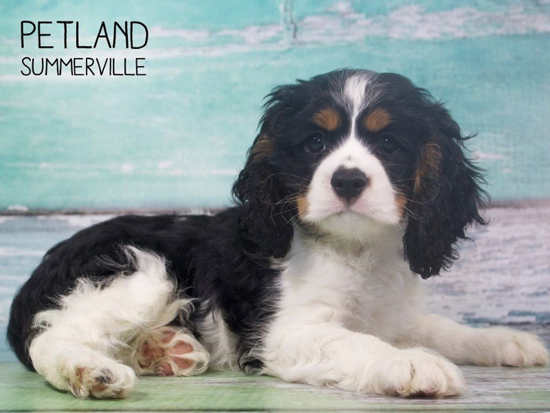 Cockalier-Male-TRI-2408375-Petland Summerville