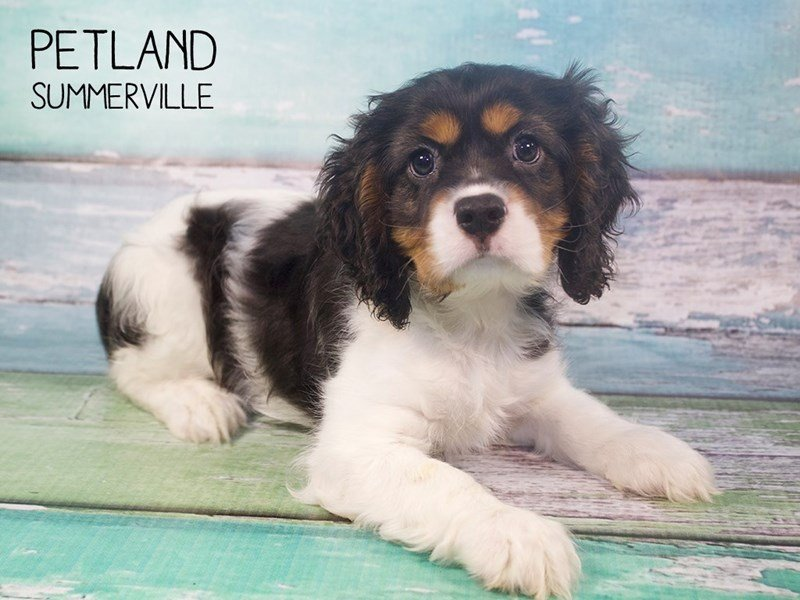 Cockalier-Male-TRI-2408371-Petland Summerville