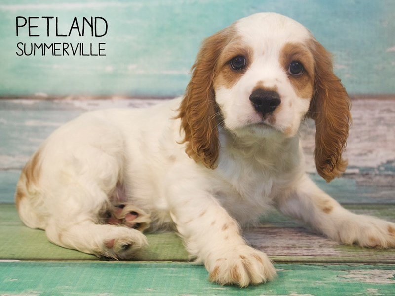 Cockalier-Male-BLENHEIM-2408374-Petland Summerville