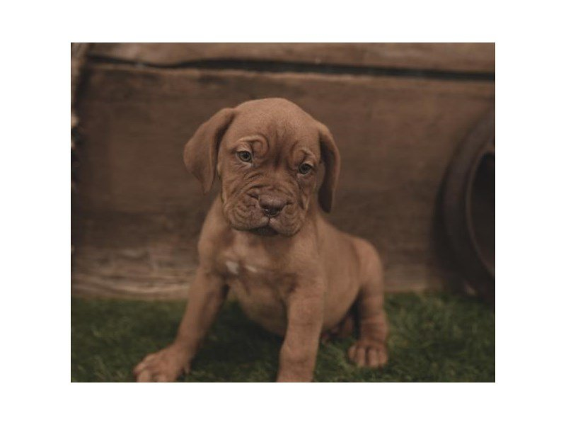 Dogue De Bordeaux-Female-Red-2462059-Petland Summerville