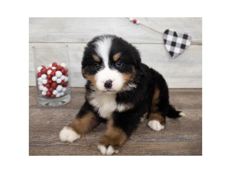 Bernese Mountain Dog-Male-Black / Rust-2607939-Petland Summerville
