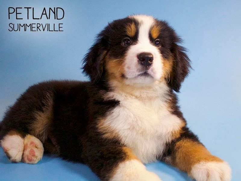 Bernese Mountain Dog-Male-Tri-2661252-Petland Summerville