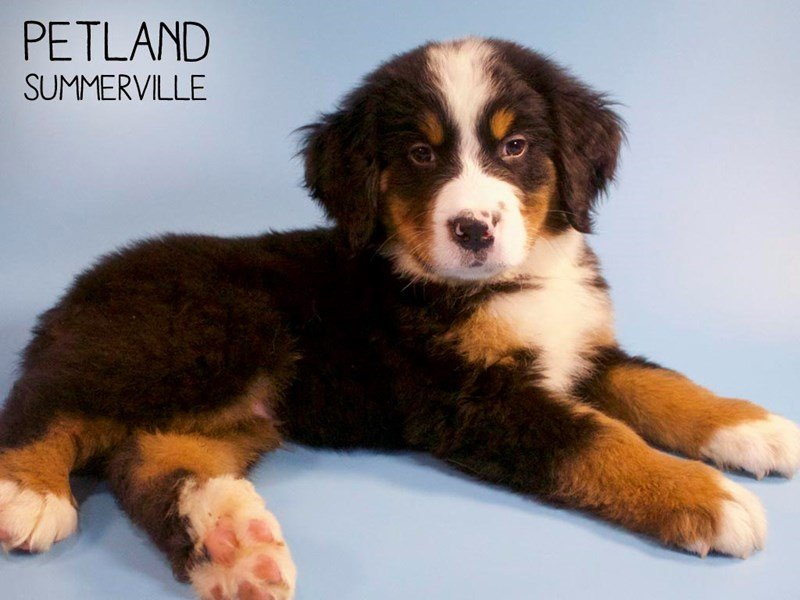 Bernese Mountain Dog-Male-Tri-2661251-Petland Summerville