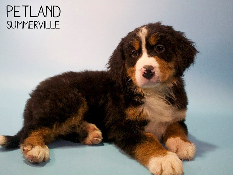 Bernese Mountain Dog-Male-Tri-2667480-Petland Summerville