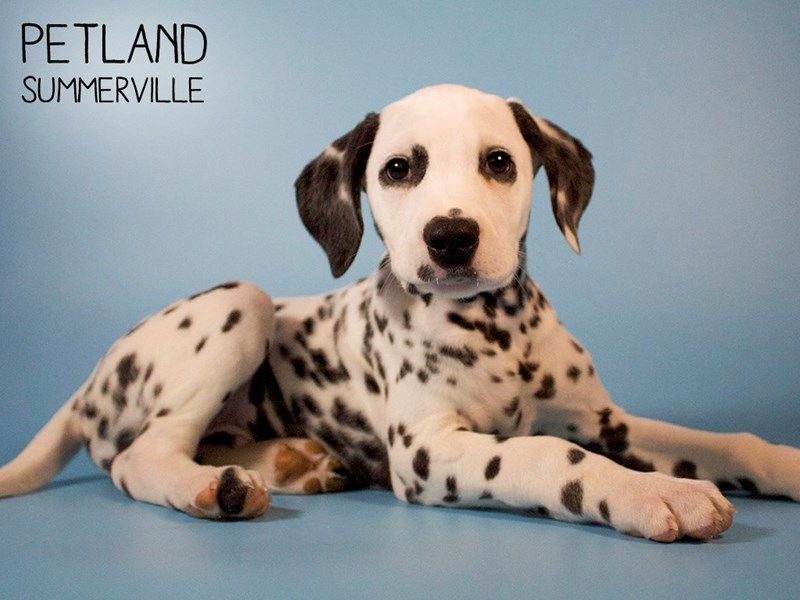 Dalmatian-Male-White / Black-2710703-Petland Summerville