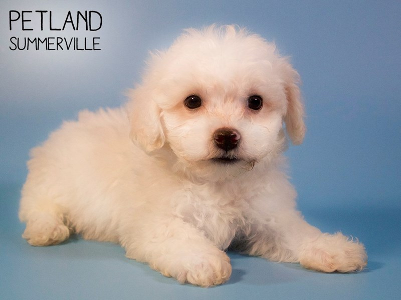 Maltichon-Male-White-2724102-Petland Summerville