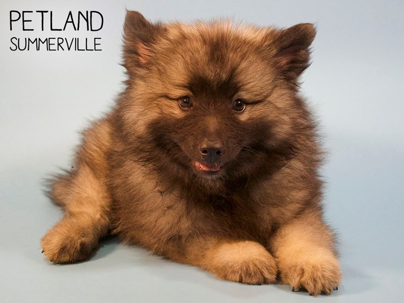 Keeshond-Male-Silver Sable-2745969-Petland Summerville