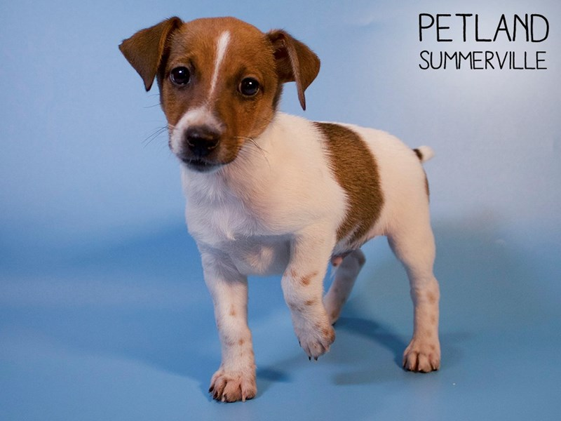 Jack Russell Terrier-Male-Red / White-2821409-Petland Summerville