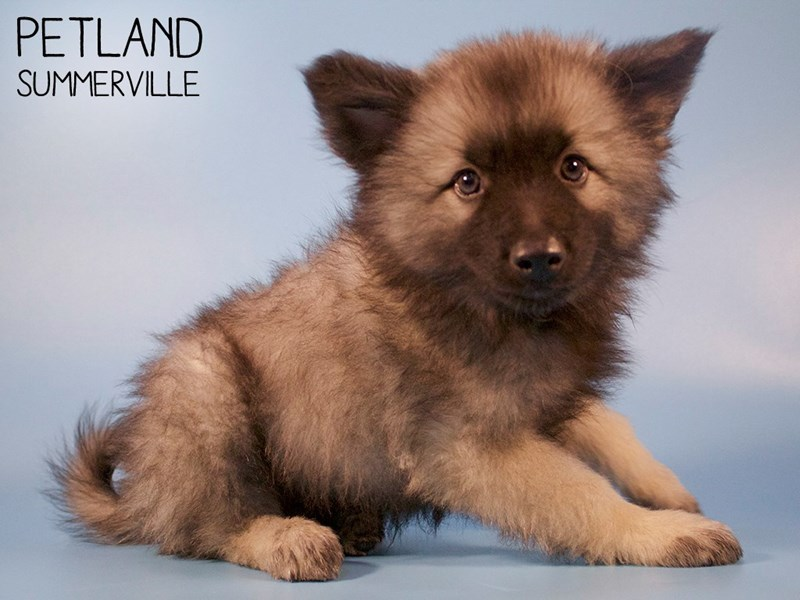 Keeshond-Male-Silver Sable-2829053-Petland Summerville