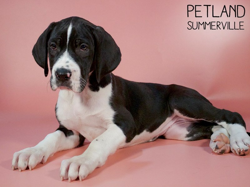 Great Dane-Female-Black / White-2829050-Petland Summerville