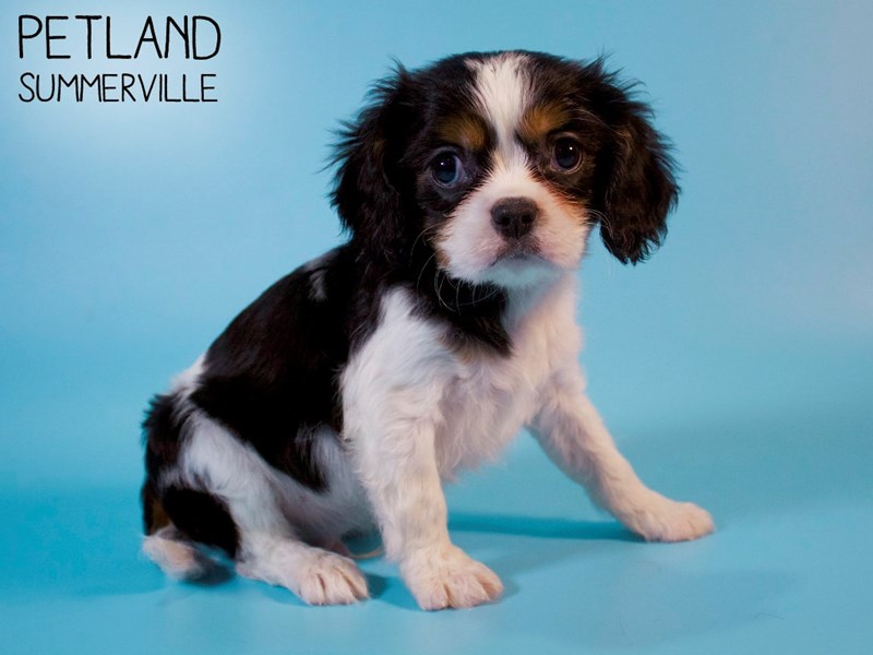 Cavalier King Charles Spaniel-Male-Black White / Tan-2886323-Petland Summerville