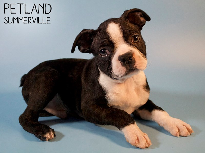 Boston Terrier-Male-Brindle / White-2879856-Petland Summerville