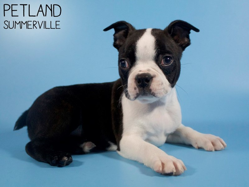 Boston Terrier-Male-Black / White-2893447-Petland Summerville