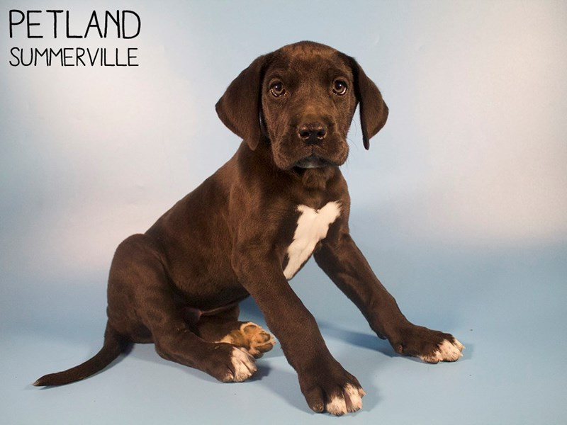 Great Dane-Male-Black-2928640-Petland Summerville