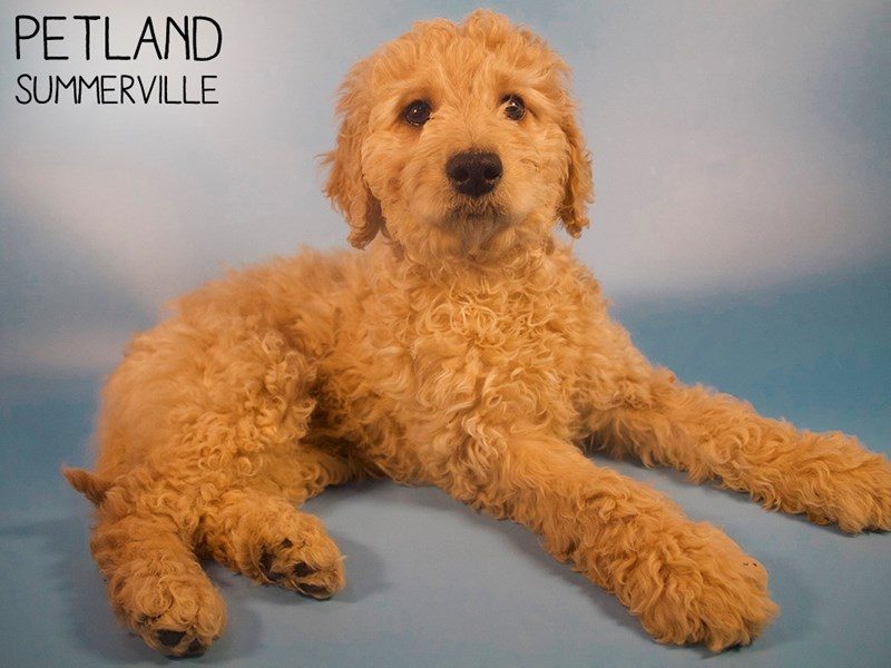 Goldendoodle-Male-Golden-2951397-Petland Summerville