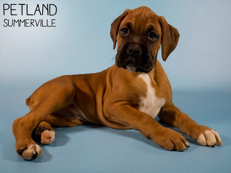 Boxer-Male-Fawn WIth Black Mask-2963352-Petland Summerville