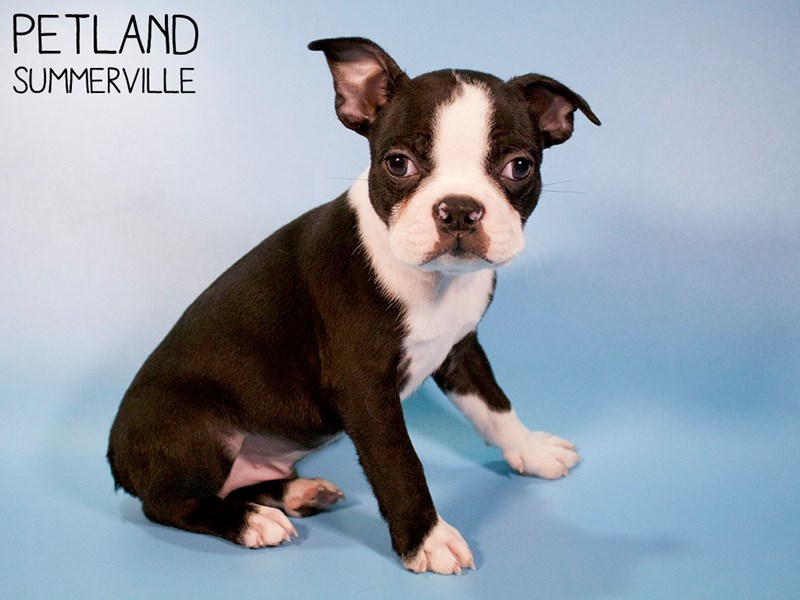 Boston Terrier-Male-Black / White-2951869-Petland Summerville