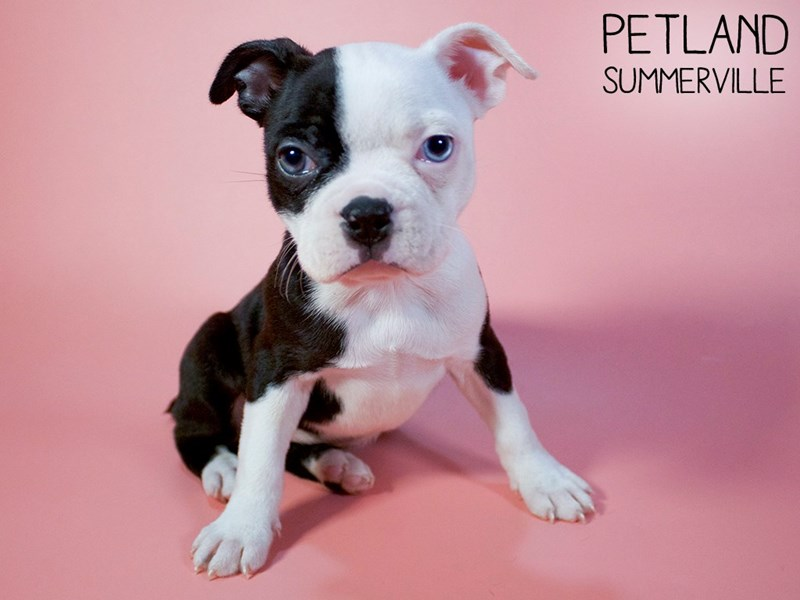 Boston Terrier-Female-Black / White-2975716-Petland Summerville