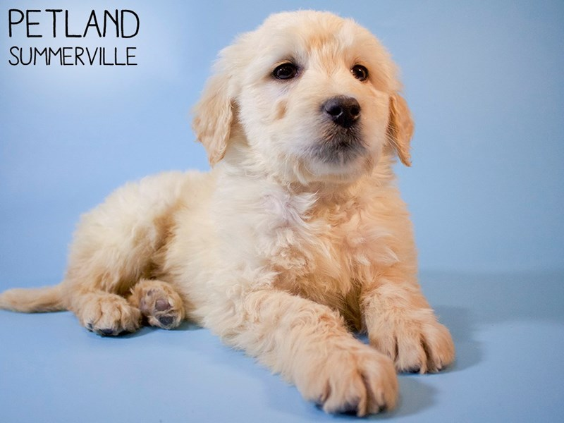 Goldendoodle-Male-Golden-2984327-Petland Summerville
