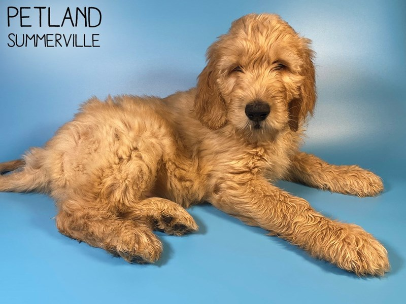 Goldendoodle-Male-Gold-3014791-Petland Summerville