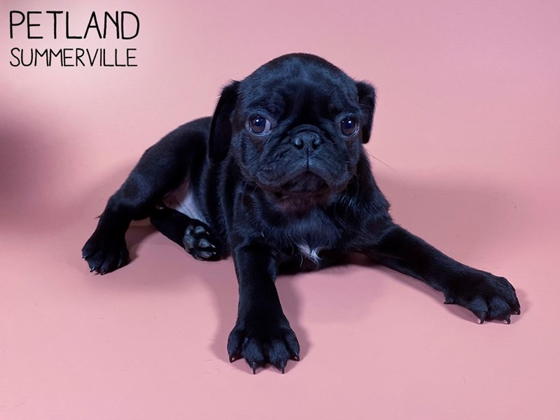 Pug-Female-BLACK-3015005-Petland Summerville