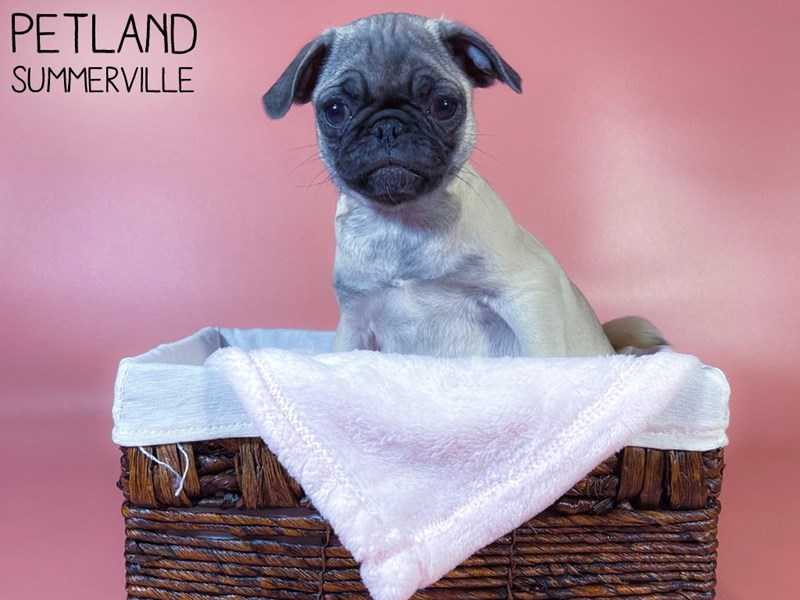 Pug-Female-FAWN-3044619-Petland Summerville