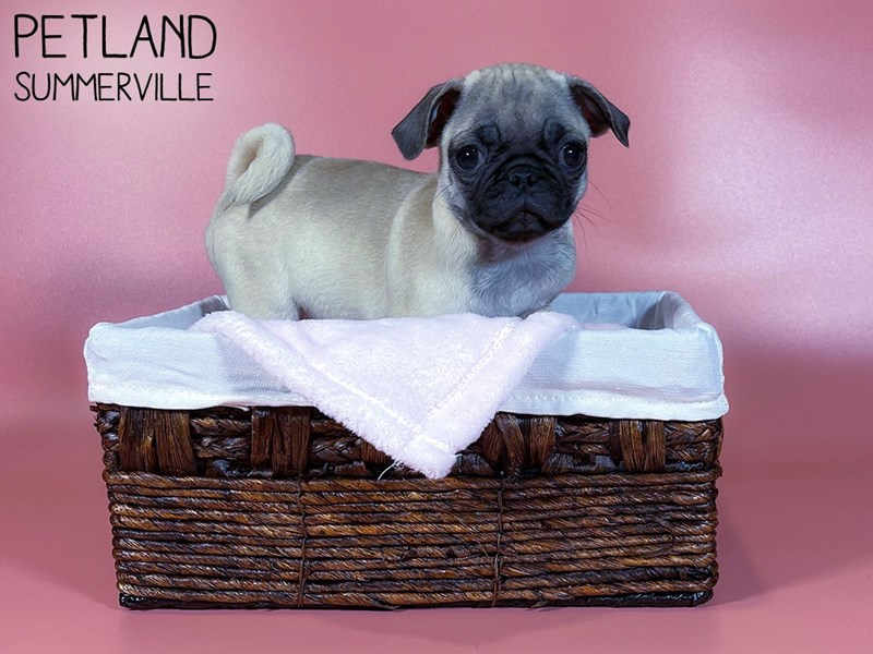 Pug-Female-FAWN-3044615-Petland Summerville