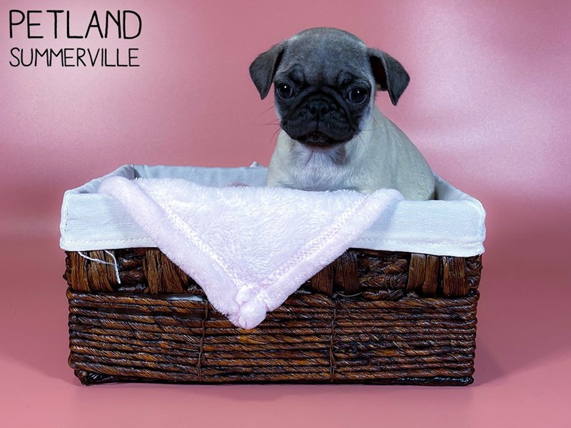 Pug-Female-FAWN-3044618-Petland Summerville