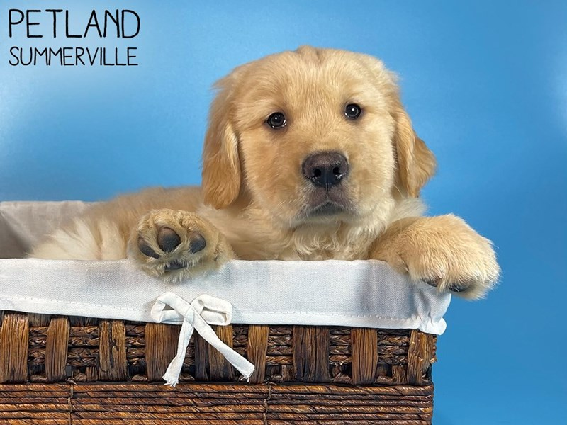Golden Retriever-Male-Golden-3044516-Petland Summerville
