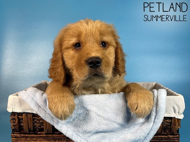 Golden Retriever-Male-Golden-3044517-Petland Summerville