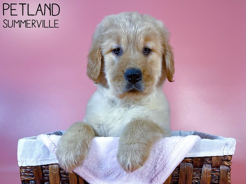Golden Retriever-Female-Golden-3044520-Petland Summerville
