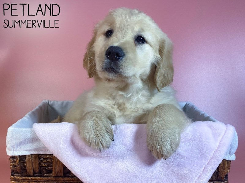 Golden Retriever-Female-Gold-3076950-Petland Summerville