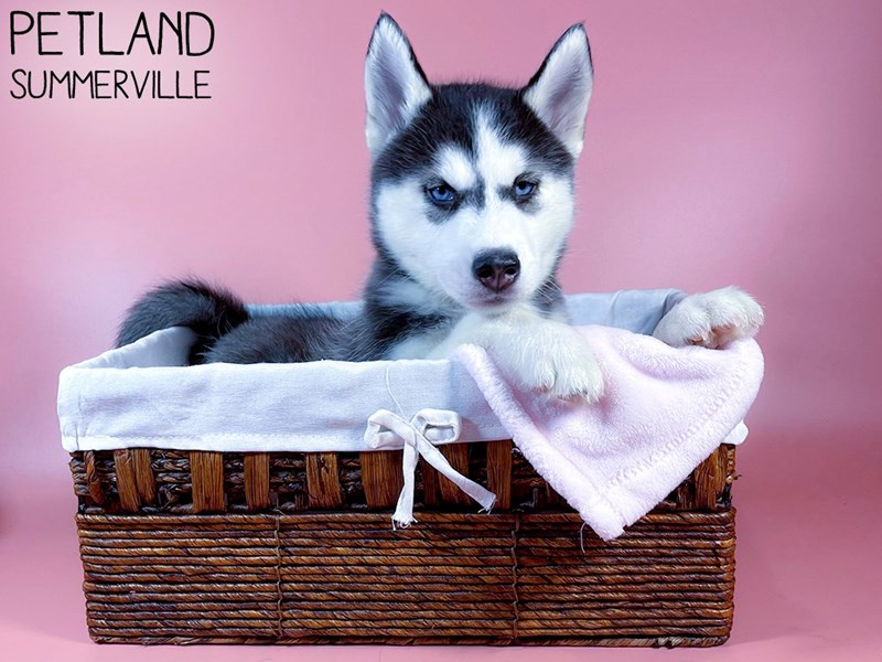 Siberian Husky-Female-Black & White-3098792-Petland Summerville