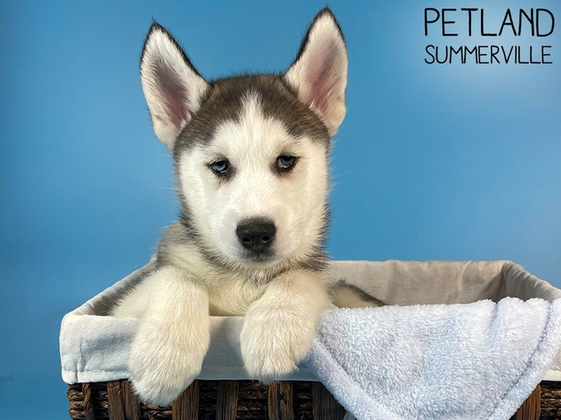 Siberian Husky-Male-Gray & White-3098791-Petland Summerville