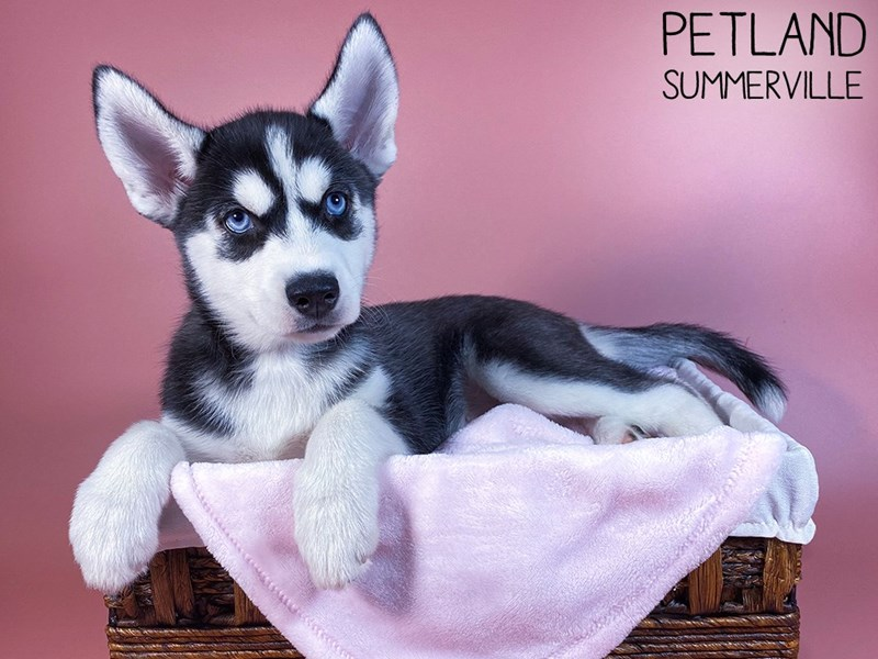 Siberian Husky-Female-Black & White-3109959-Petland Summerville