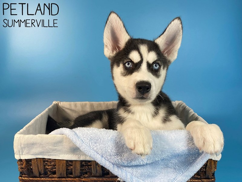 Siberian Husky-Male-Black & White-3109957-Petland Summerville